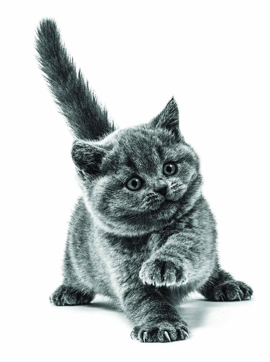 Étapes de la première année de vie de votre chaton