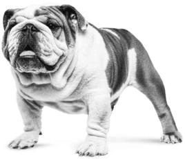 Puces chez le chien : désagréables & dangereuses !