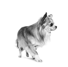 Le Chihuahua - Un chien minuscule débordant de personnalité !