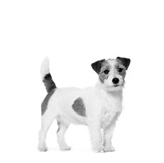 Jack Russel - Un petit athlète agile avec l'énergie d'un chien plus grand!