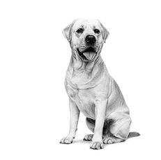 Le Labrador Retriever - Un compagnon fiable, enjoué et populaire.