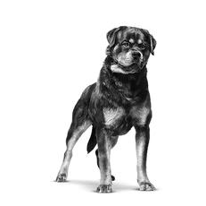 Rottweiler - Puissant et fascinant