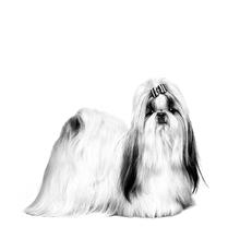 Le Shih Tzu - Un petit chien raffiné et plein de vie !