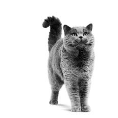 Le British Shorthair - Le charmant joufflu