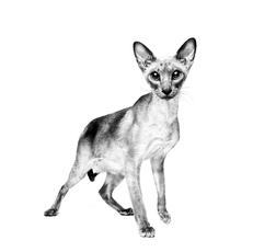 Le Siamois - Élégant et intelligent