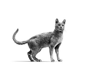 Avantages et inconvénients de la castration chez le chat