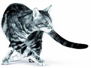 L'instinct de chasseur du chat à la loupe