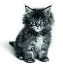 Conseils pour bien vous préparer à la venue d'un chaton